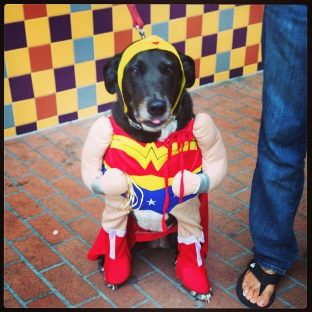 cosplay-wonderwoman-dog-costume-01